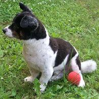 Border Jack Dog Breed