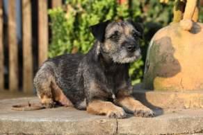 Border Terrier Resting