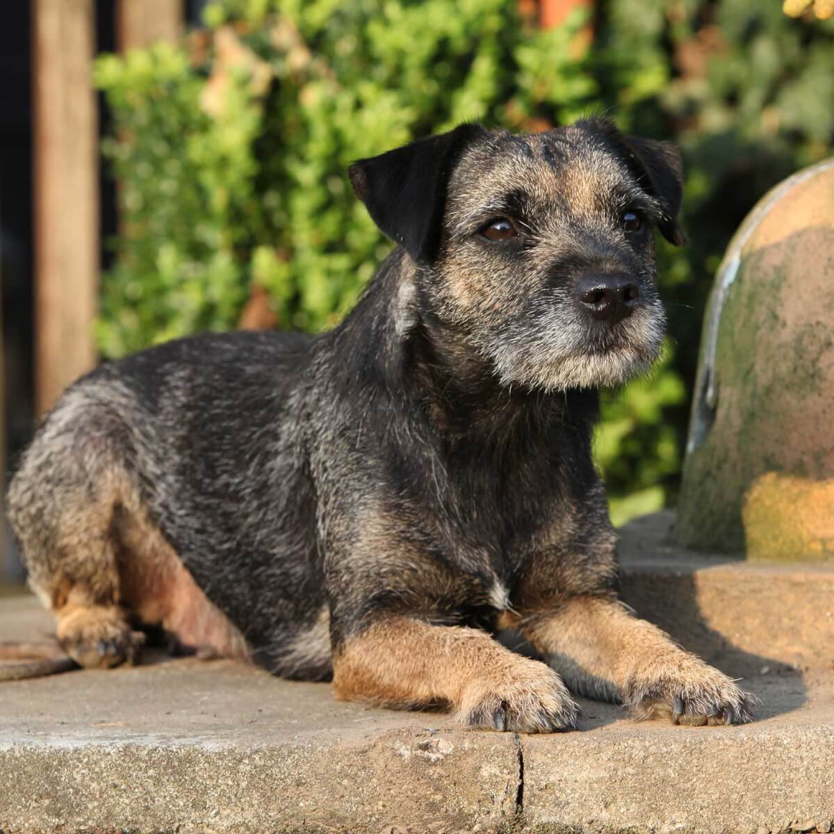 Border Terrier Dog Breed Information Pictures More