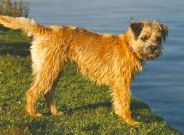 Red Border Terrier
