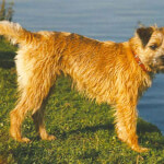Red Border Terrier