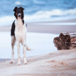 White and Black Borzoi