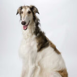 White & Brown Borzoi