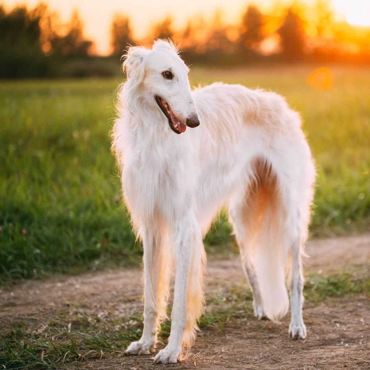 Borzoi Dog Breed » Everything About Borzoi