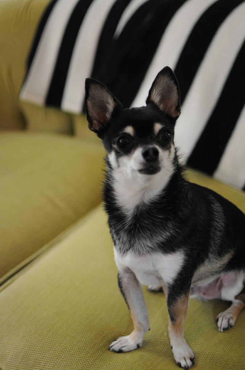 boston terrier and chihuahua boston terrier chihuahua dog breed 187 everything about 1543