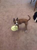 Tan & White Boston Terrier Chihuahua