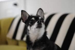 Black & White Boston Terrier Chihuahua Mix