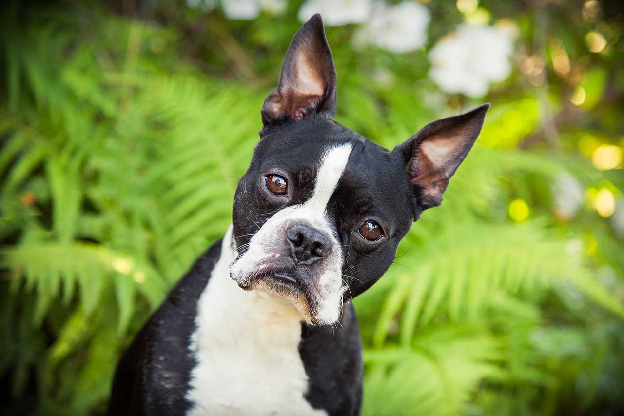 Boston Terrier Dog Breed 187 Information Pictures Amp More