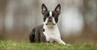 Boston Terrier Resting in the Grass
