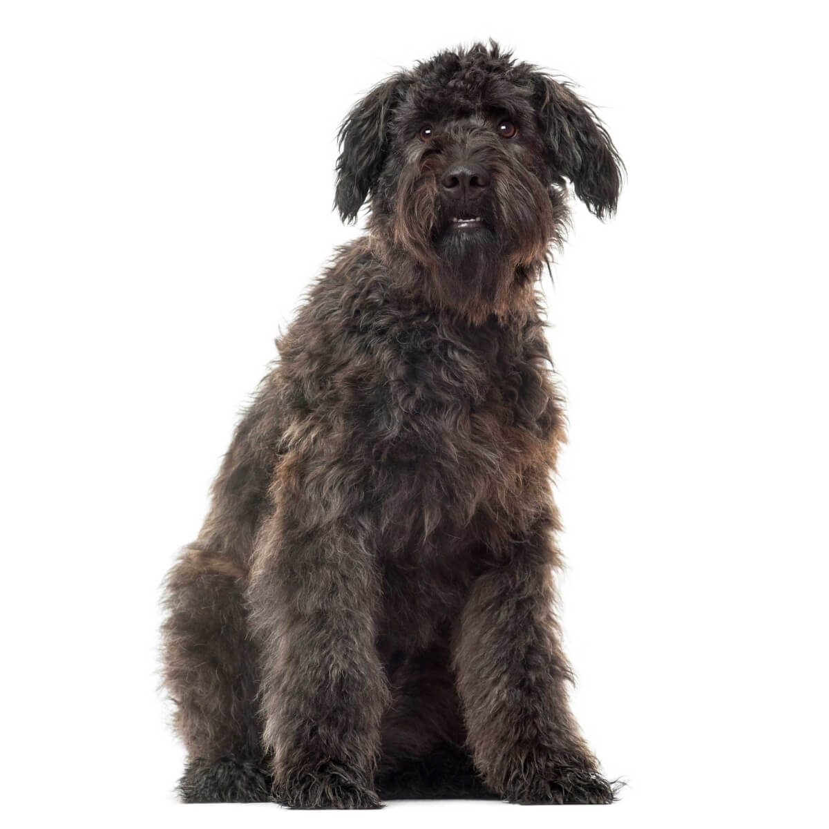 Bouvier Des Flandres Dog Breed 187 Everything About Bouvier