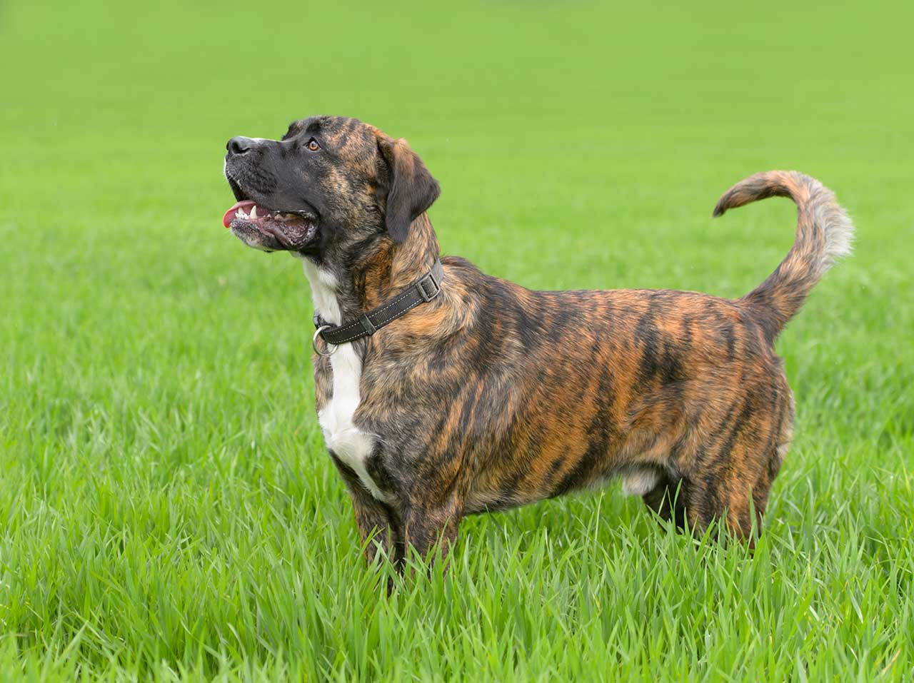 Boxador Dog Breed » Everything About Boxer Lab Mixes