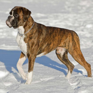 Brindle Boxer Dog