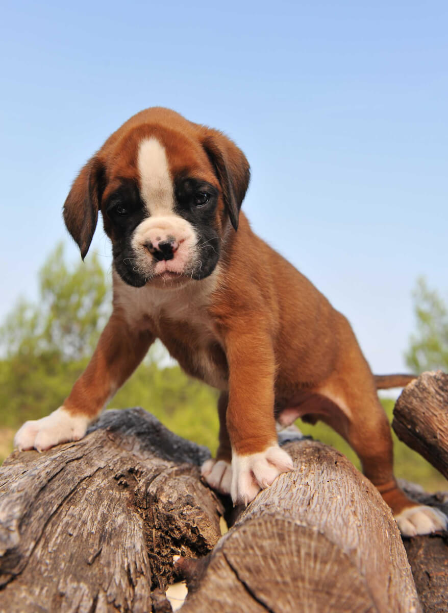 Boxer Dog Breed » Information, Pictures, & More