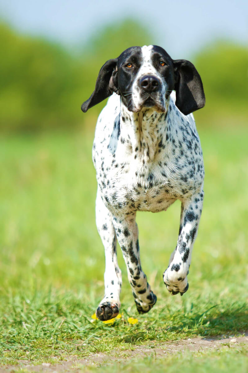 Braque D Auvergne Dog Breed 187 Everything About Braque D