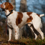Orange and White Brittany Spaniel