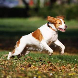 Brittany Spaniel Playing Outside
