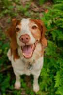 Brittany Dog Breed
