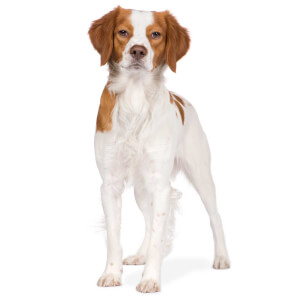 Orange & White Brittany Dog