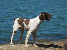 Liver Roan Brittany