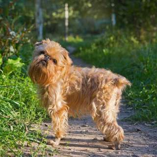 Tan Brussels Griffon