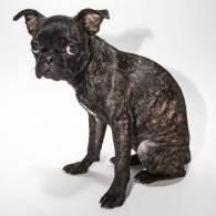 Brindle Bugg Dog