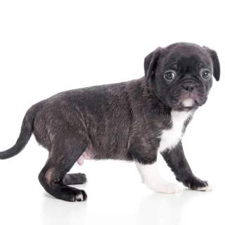 Brindle Bugg Pupppy