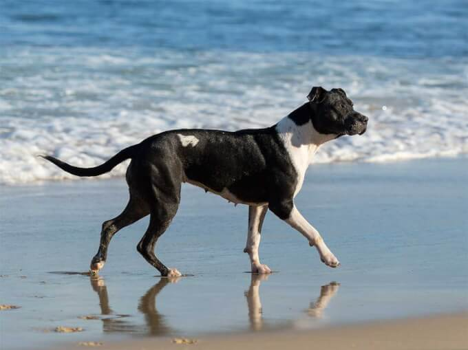 Http Www Dog Learn Com Dog Breeds Bull Arab