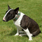 Black Brindle & White Bull Terrier