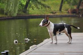 Bull Terrier at a Pond