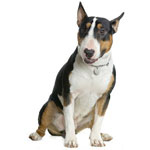 Black, Tan, & White Bull Terrier