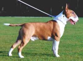 Fawn & White Bull Terrier