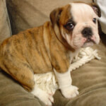 Fawn Brindle & White English Bulldog Puppy
