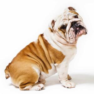 Fawn & White English Bulldog
