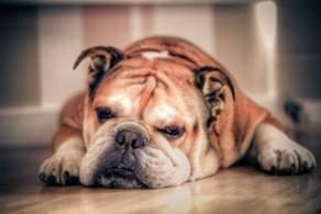 Fawn Bulldog
