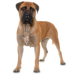 Red and Fawn Bullmastiff