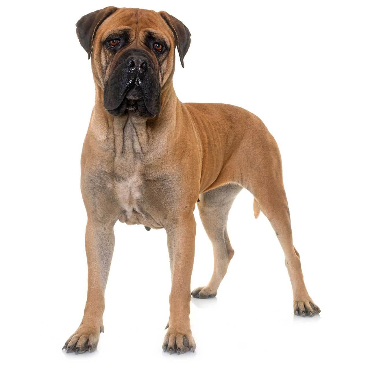 Bullmastiff dog breed everything about bullmastiff for Types of dogs with photos