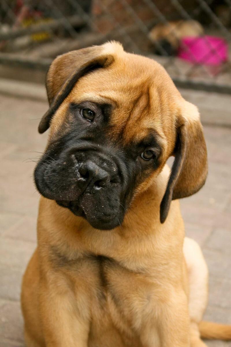 Bullmastiff Dog Breed Everything