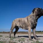 Fawn Brindle Bullmastiff