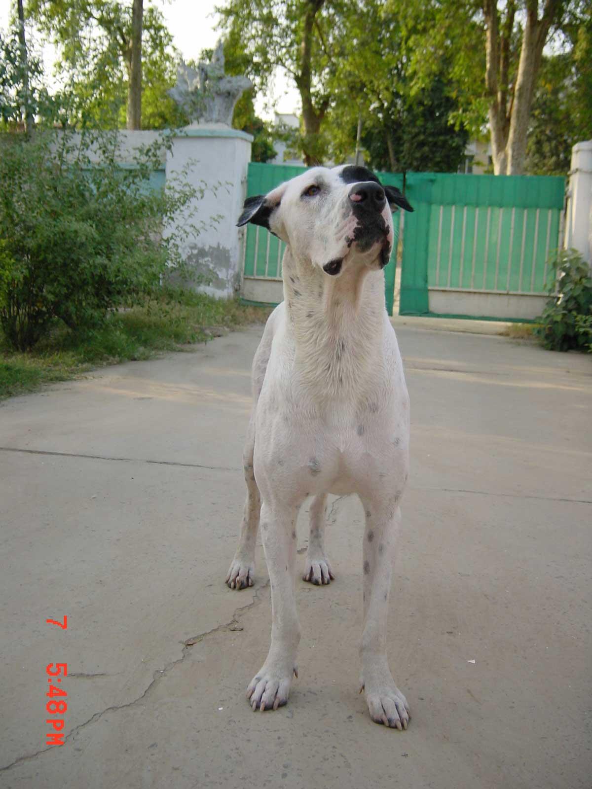 Bully Kutta Dog Breed 187 Everything About Bully Kutta