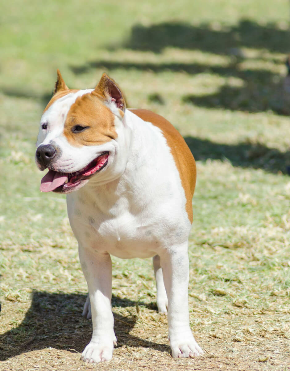 Bullypit Dog Breed » Everything About American Bulldog x