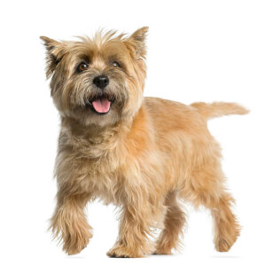 Red Wheaten Cairn Terrier