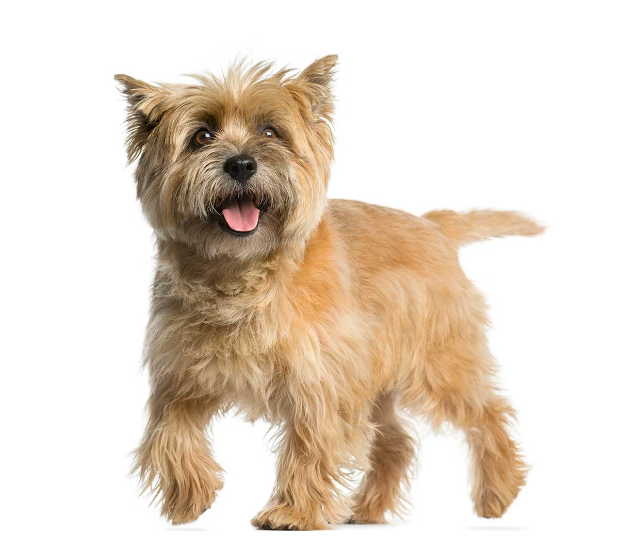 Cairn Terrier Dog Breed » Everything About Cairn Terriers
