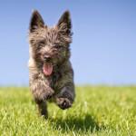 Silver Brindle Cairn Terrier