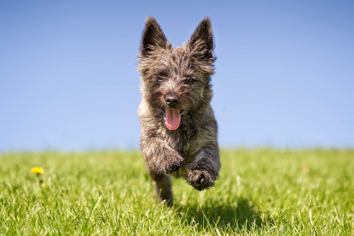 Cairn Terrier Dog Breed 187 Everything About Cairn Terriers