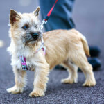 Wheaten Cairn Terrier Puppy