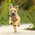 Wheaten Cairn Terrier Puppy Running