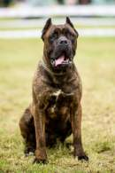Chestnut Brindle Cane Corso (Ears Cropped)