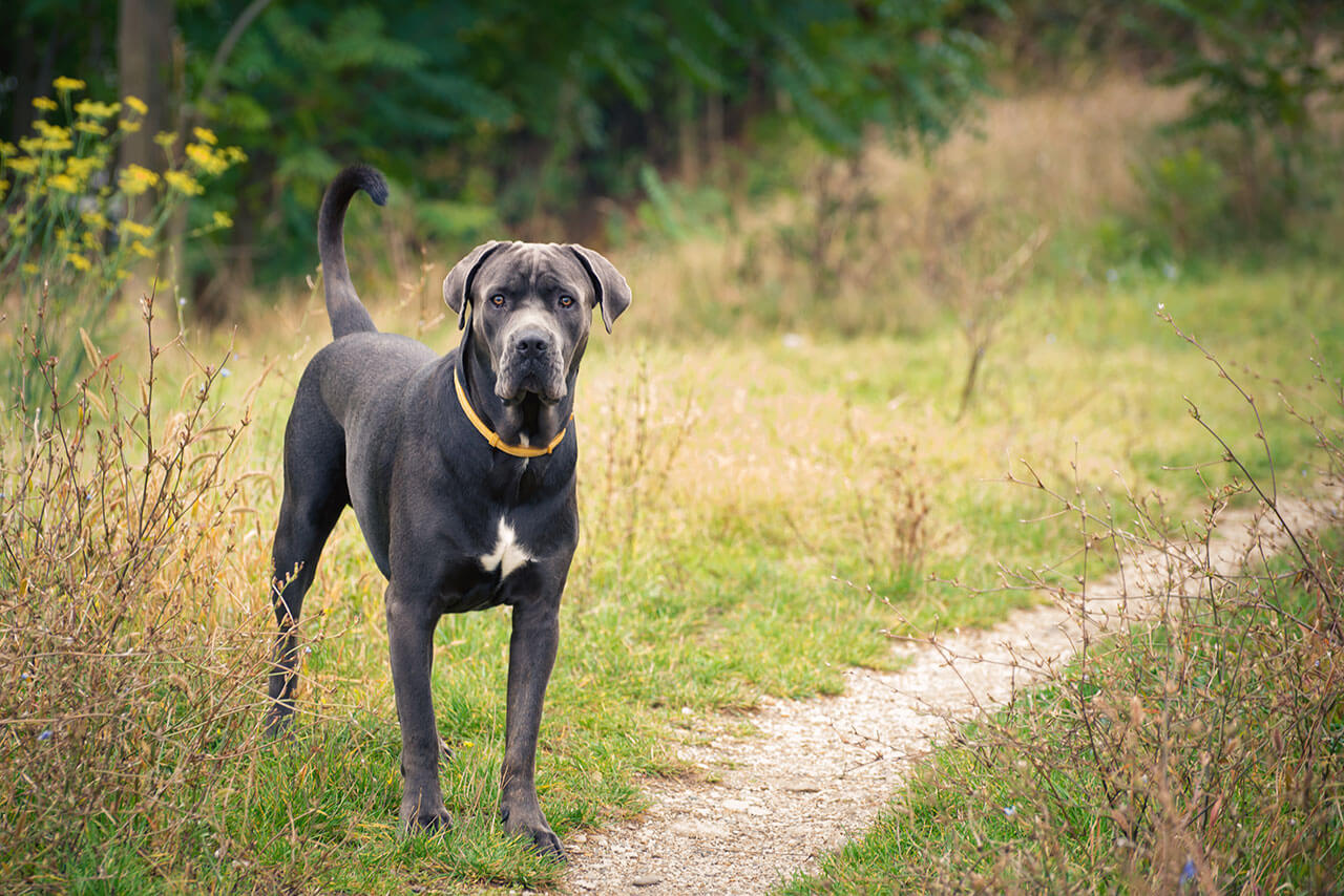 How to Breed Cane Corso images