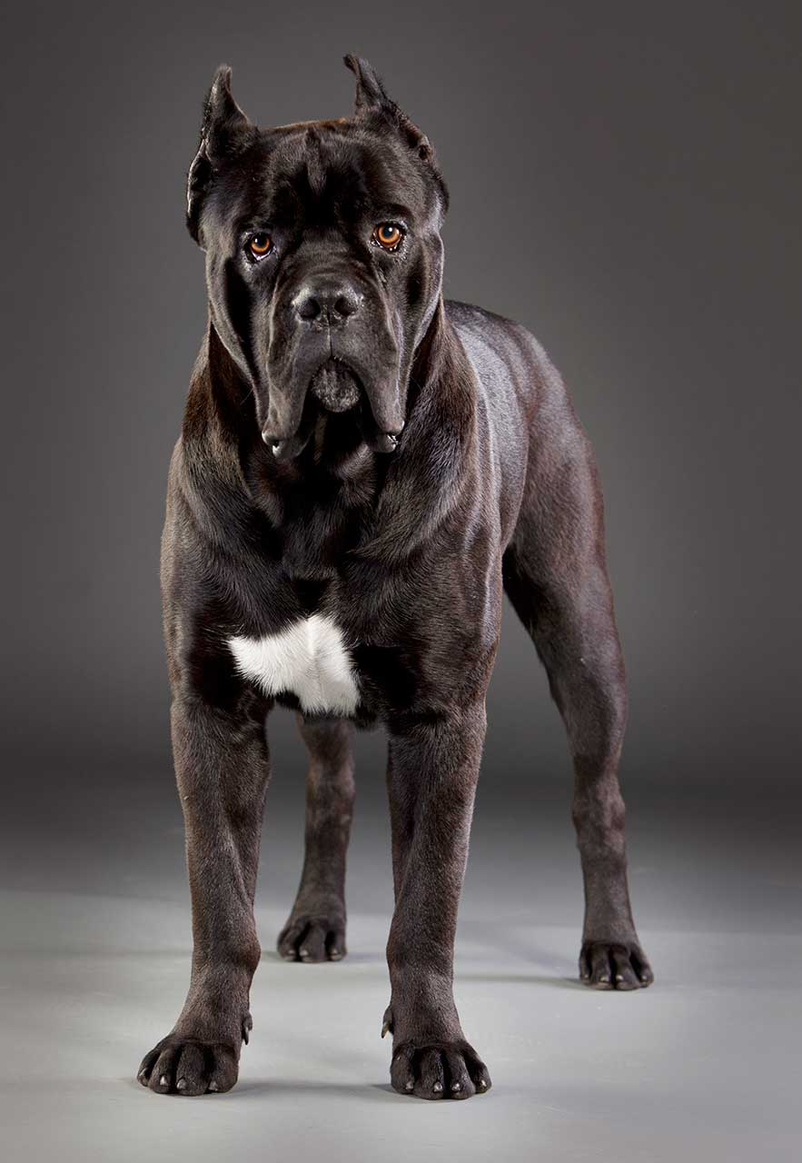 Cane Corso Dog Breed 187 Everything About Cane Corsos