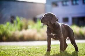 Black Cane Corso Puppy